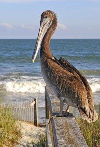 Pelican for internet